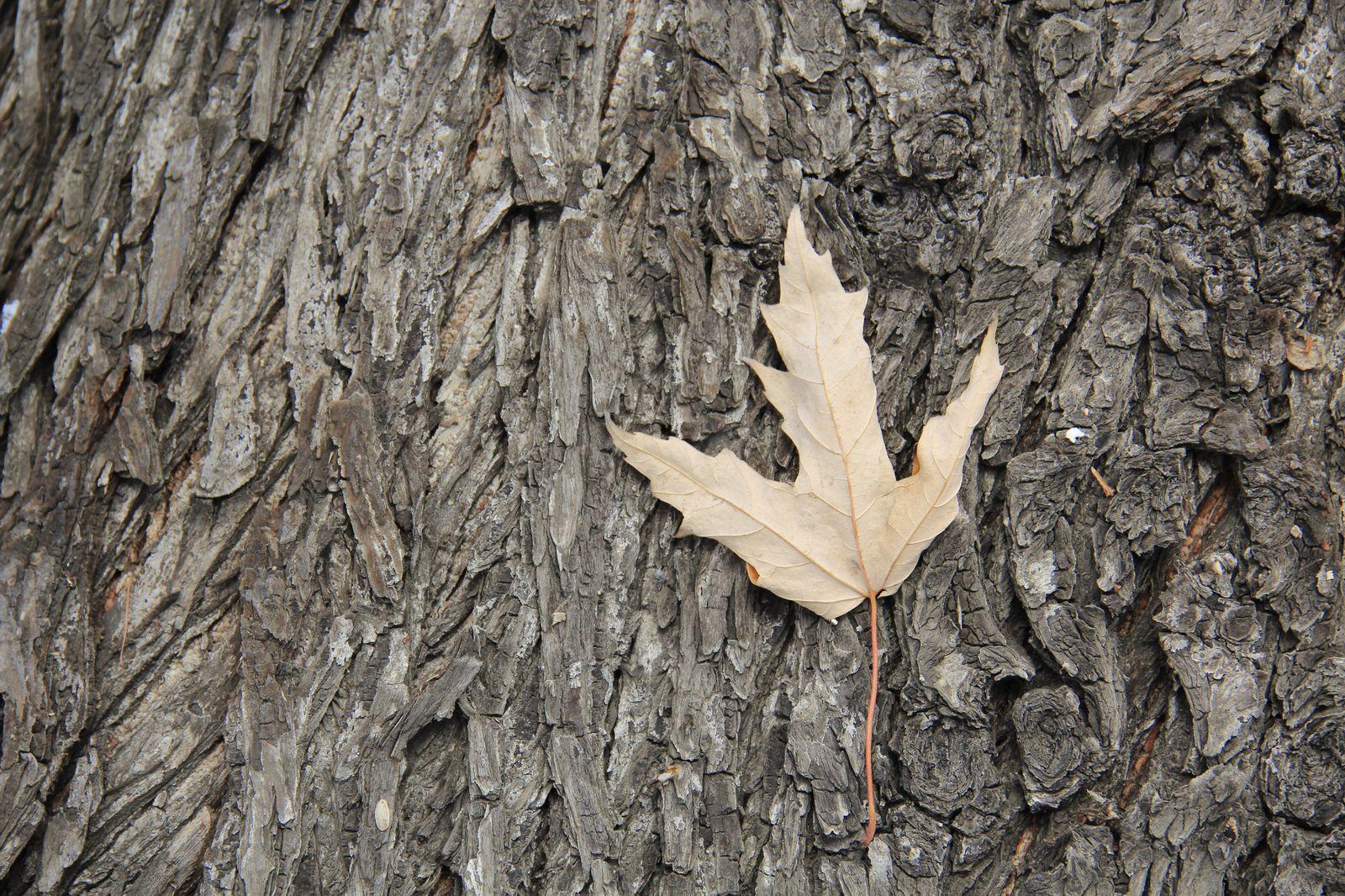 winterliches Blatt auf Baumrinde
